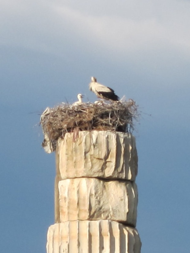 Pelican nest on the Temple of Artemis