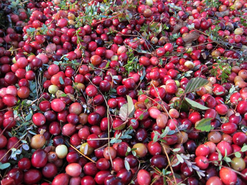 New England Cranberry Bog Daydream Tourist