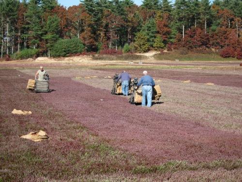 cranberry dry harvesting