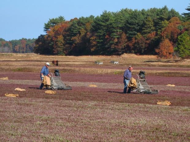 cranberry dry harvest 2