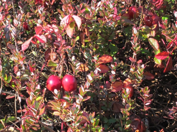 cranberry shrubs bog