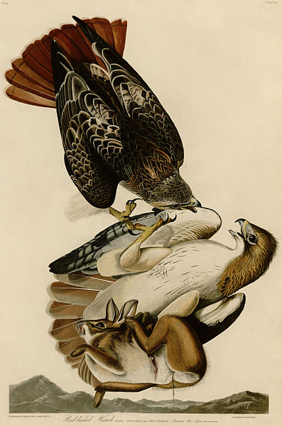 John James Audubon - Red tailed Hawk