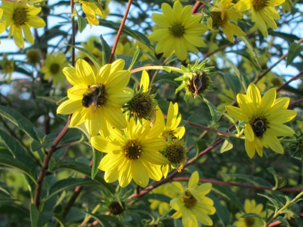 bees in yellow flowers, Dumbarton Oaks gardens