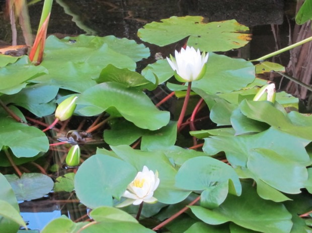 water lilies, Dumbarton Oaks gardens