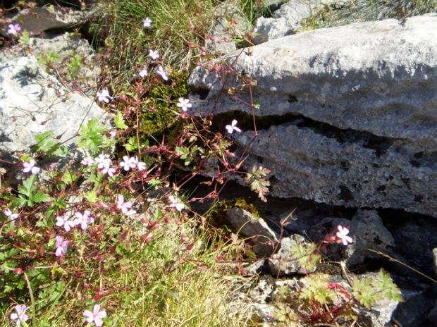 Burren wild flower